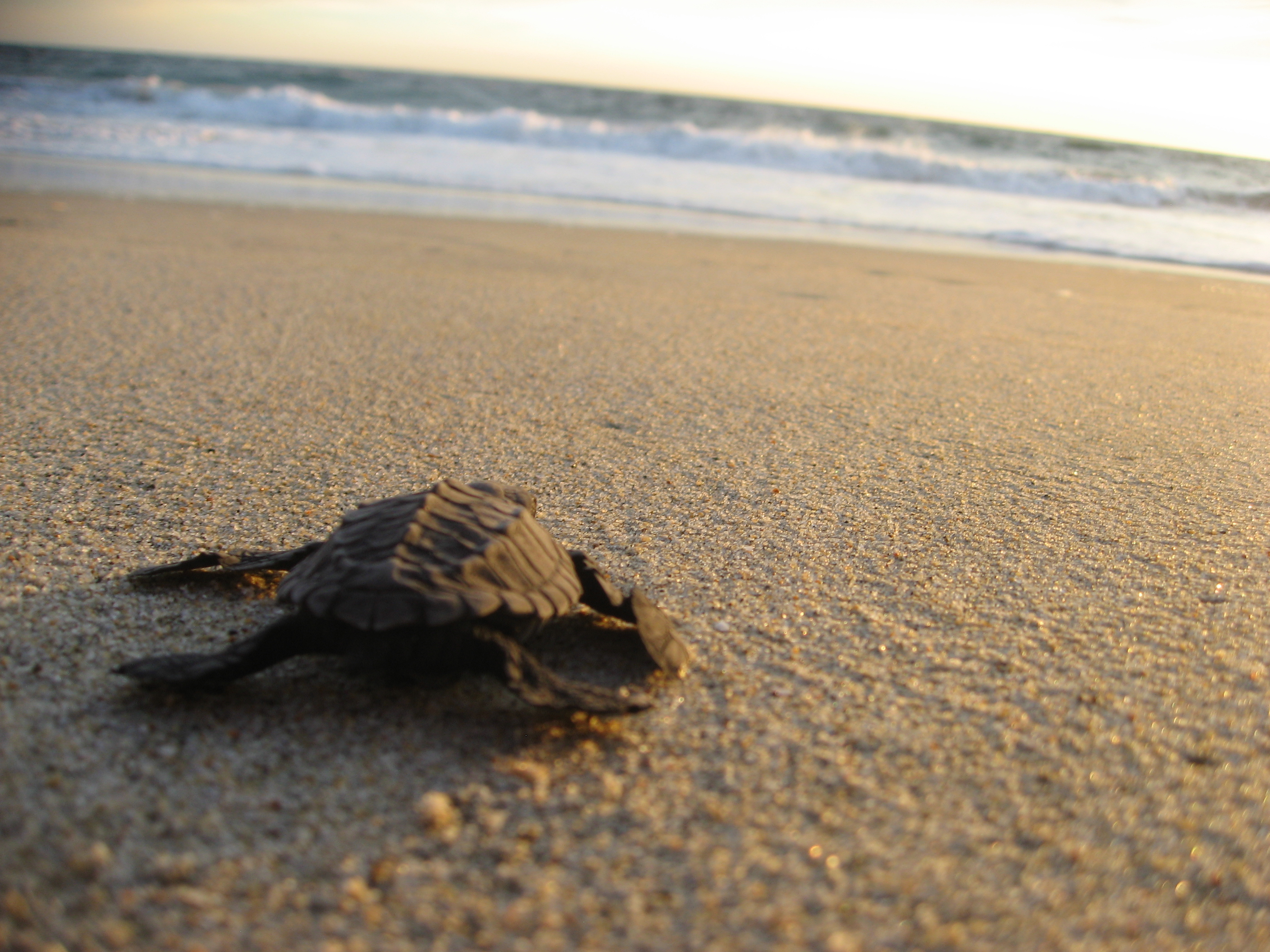 puerto-escondido-turtle